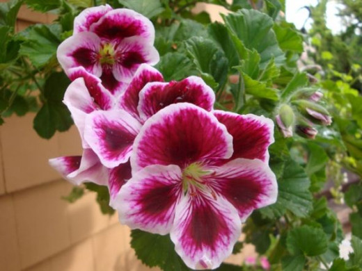 Martha Washington Pelargonium