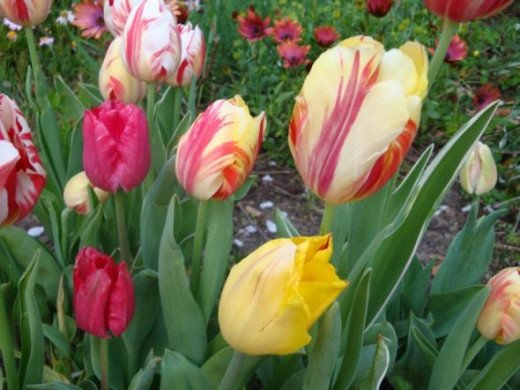 Lollipop variegated tulips