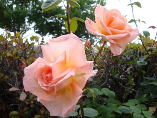 Peach colored hybrid roses