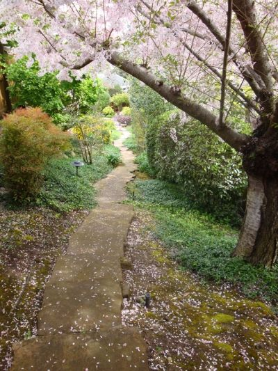 Cherry blossom petals are sprinkled all over the garden after an April shower.