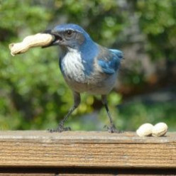 Western Scrub Jays in our yard