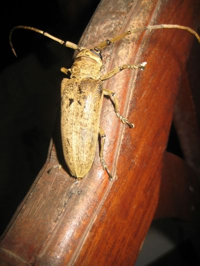 This huge beetle greeted us under the moonlight
