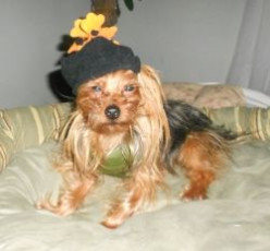 Yorkie Costume Fashion Show