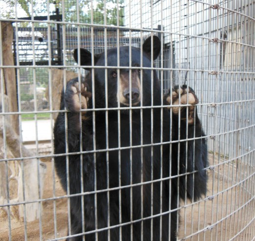 The bear at the Bear Den