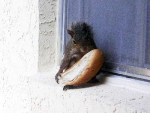 Squirrel Brat