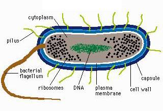 source: http://www.aunmas.com/ciencia/Bacterium.jpg