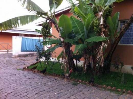 A banana tree outside my window.