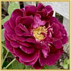 Rosa Cardinal de Richelieu: a Gallica Rose from 1850.
