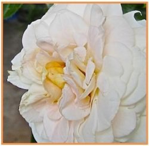 Detail of Lion's Fairy Tale Rose