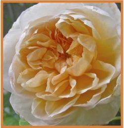 Old English Rose Jayne Austin