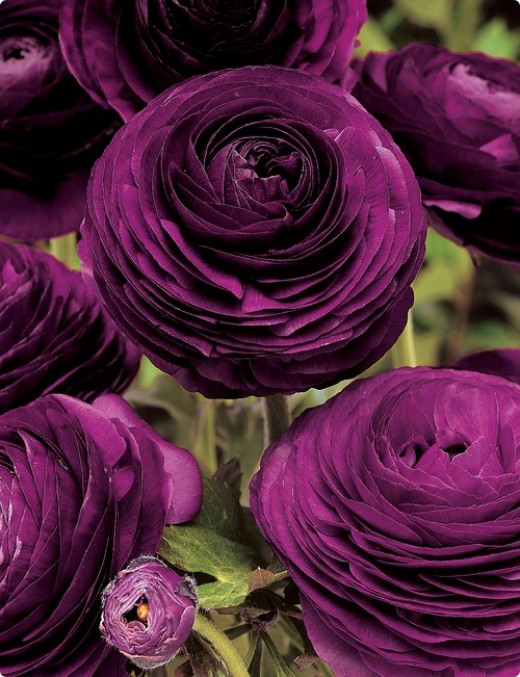 Purple Ranunculus  from dutchbulbs.com  Hardy in zones 8-10