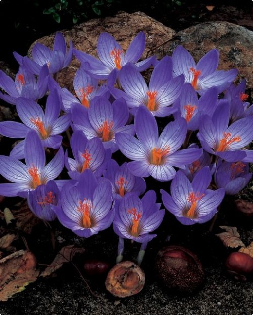 Autumn Lilac Crocus  from dutchbulbs  Hardy in zones 4-8