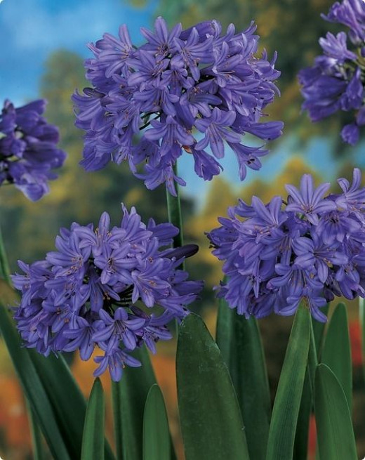 Agapanthus Blue  from dutchbulbs.com  Hardy in zones 6-10