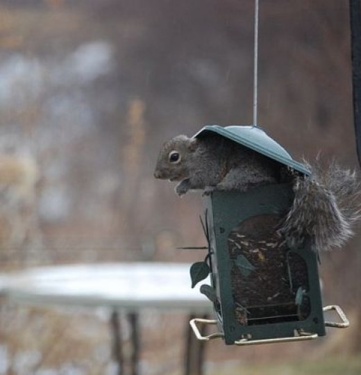 Bad squirrel! No bird feeder poaching allowed.