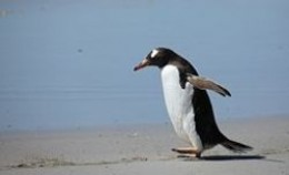 Gentoo Penguin walking along the beach