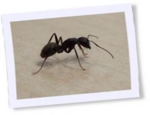 black ant, ants, ant habitat, ant farm