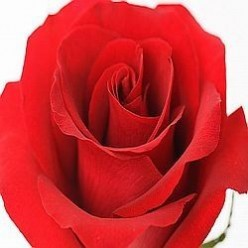 My Favourite Red Rose Gifts