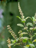 Tulsi or bansil plant