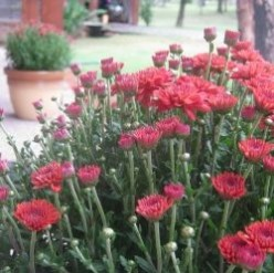 What to Do With Mums in the Spring