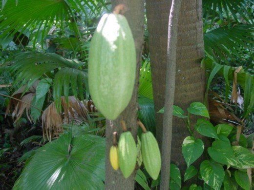 The cacao plant in fruit. Image from Wikipedia