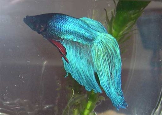 I used to have a Betta that looked like this