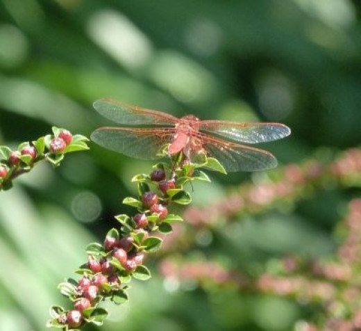 Dragonfly with its gossamer wings greet visitors