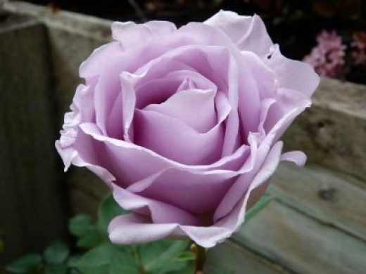 Our first purple rose, so fragrant and elegant