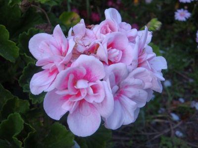 Rosettes of pink geranium