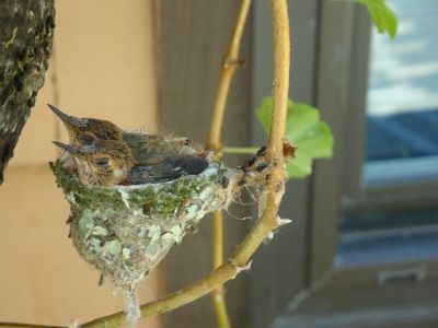 Hummingbird nest on ivy geranium 2010 - outside the bedroom window