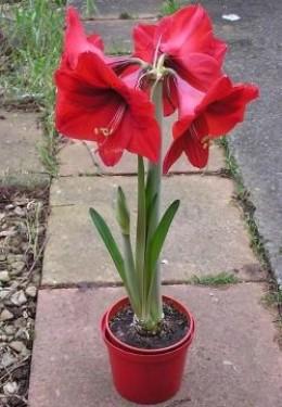 Amaryllis plant.