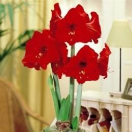 Amaryllis bulbs to buy