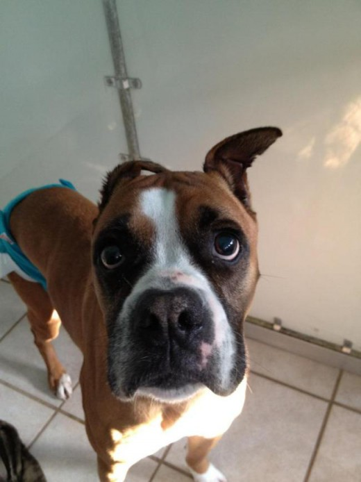 One of the many dogs that stayed at the kennel, this Boxer named Jedi Knight knew how to turn on the adorable.