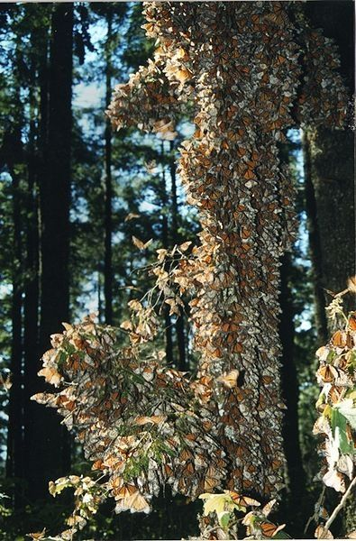 Monarchs Overwintering in Mexico