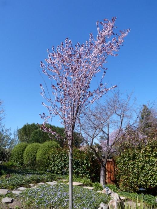 Krauter Vesuvius flowering plum tree