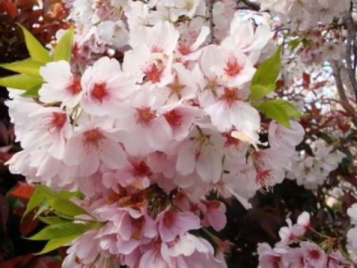 """Closeup of """"Akebono"""" cherry blossoms"""