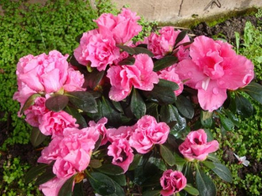 "These azaleas are planted in a shaded area under a trellis by the pool. It likes acidic soil and the moist, damp environment, away from direct sunlight. These colorful blooms will only last for a few weeks, but their showy presence shouts ""Spring is"