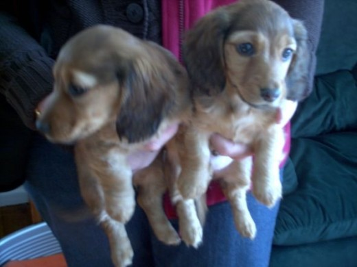 Daxi puppies