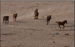 Wild horses of Namib by D Woollacott