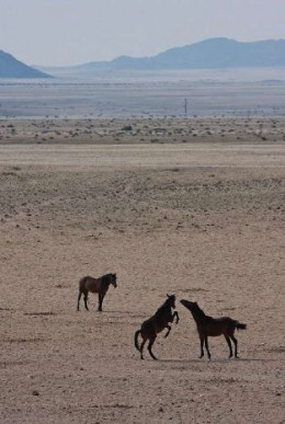 Wild Horses by D Woollacott