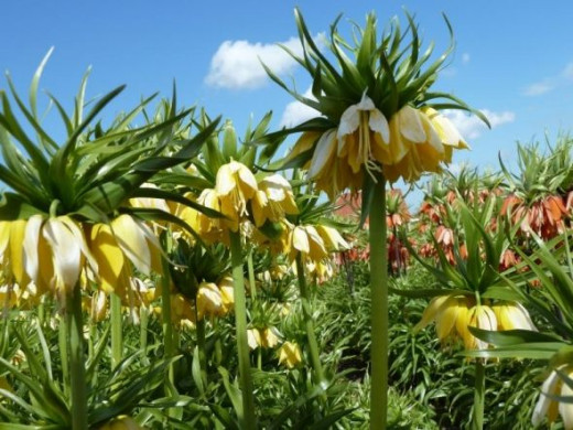 Fritillaria also come in yellow colors.  Pineapple?  Streetlight?  Sunflower?