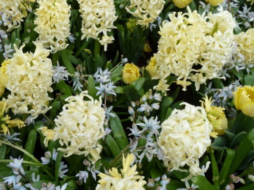 White hyacinths can be really stunning.