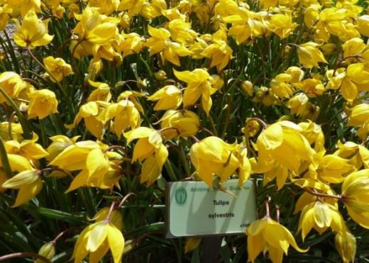 earliest form of tulip - tulipa sylvestris