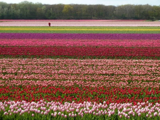 A tulip field often has someone walking the field in the distance.  They are culling out the poor stock and the bulbs that are not the right color.