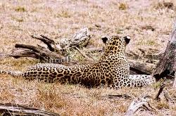 Leopard at Vilpaththu National Park