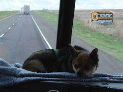 Our Dog Bandit on Dash in Our Truck