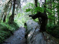 Hoh Rainforest Hiking Trail