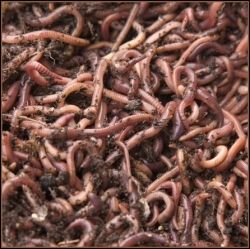 Red-Wiggler-Worms