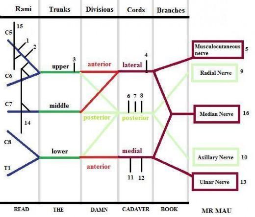 NERVES of the Brachial Plexus