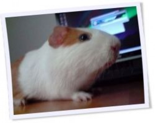 A guinea pig on the run