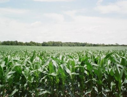 Corn and Bean Fields Surround Mulberry, Indiana